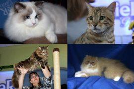 adoção de gatos