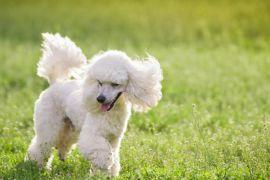 Encontro de cães da raça Poodle no HiperZoo