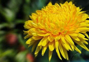 cris-amarelo-360x250.jpg